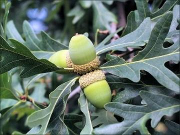 Nearly mature acorns in mid-Sept