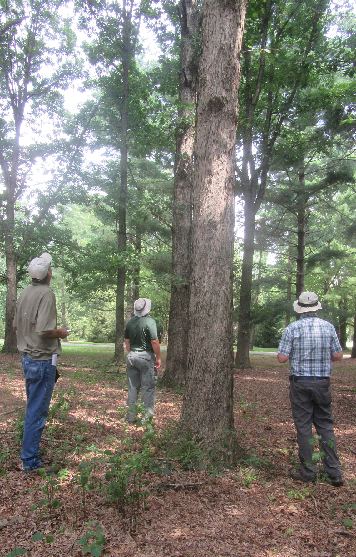 Superior white oak in seed source study.