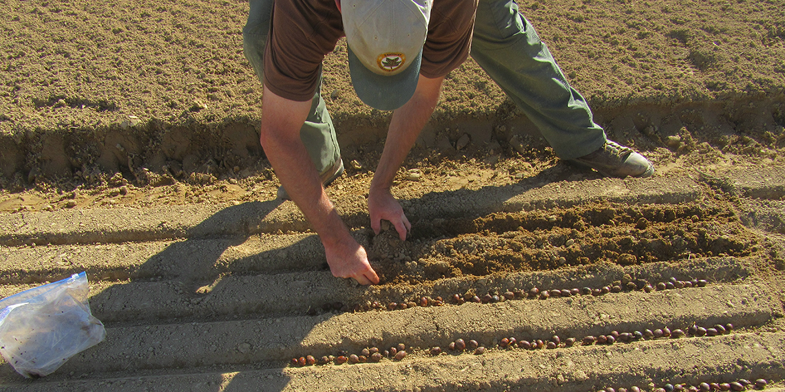 White oak acorns being hand-planted at the KDF nursery.
